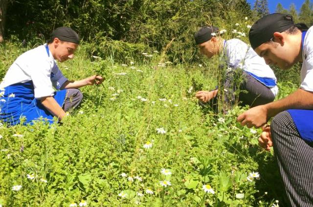 Raccolta fiori di camomilla